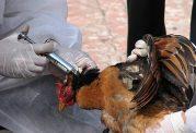 شیوع آنفلوآنزای مرغی در 14 استان ایران