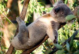 خواب 22 ساعته کوالای استرالیایی در روز