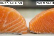 سالمون پرورشی هم امگا ٣ دارد؟