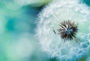 10 خاصیت درمانی منحصر به فرد برای قاصدک