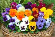 خواص درمانى گل بنفشه