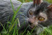 گربه های جهش یافته خانگی شبیه گرگ