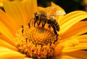 گرده افشانی زنبور عسل چه تاثیری بر گیاهان می گذارد