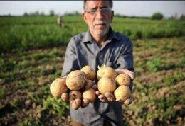تکذیب خبر واردات سیب زمینی هندی
