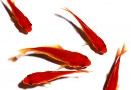 ماهی قرمز می تواند سبب بروز بیماری در شما شود
