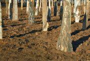 3 میلیون درخت در پایتخت کاشته می شود