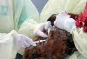 راه های پیشگیری از ابتلا به آنفولانزای پرندگان