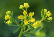 گیاه سداب چه خواص و مضراتی دارد؟