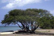 سمی ترین درخت جهان را بشناسیم