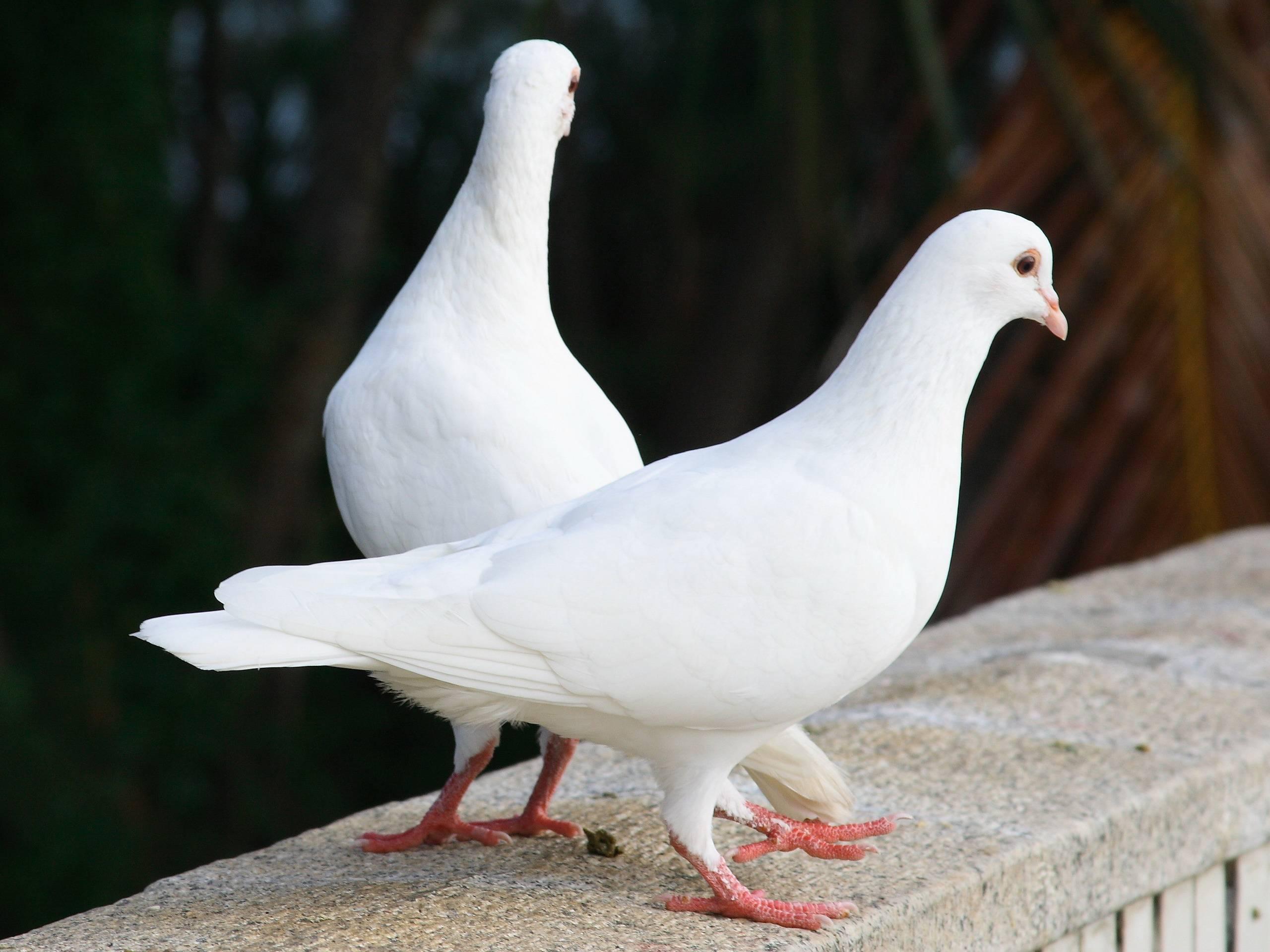 گوشت کبوتر به عنوان گوشتی سالم و مغذی