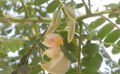 مضرات و خواص گیاه ناخنک را بشناسیم