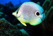 کاربردهای داشتن چهار چشم برای پروانه ماهی ها
