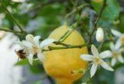 تولید میوه های بدون دانه