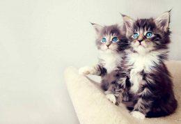 تمام آنچه که باید در مورد گربه های پشمالو بدانید