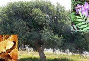 بررسی مزایای درمانی گیاه گون و کتیرا