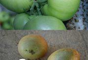 آیا گوجه فرنگی و سیب زمینی سبز سرطان زا هستند؟