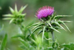 گیاه خارمریم دشمن بیماری های کبدی!