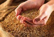 آیا گندم برای سلامتی مفید است؟