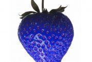 تولید توت فرنگی آبی رنگ در ژاپن