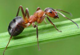 نحوه مصرف روغن مورچه