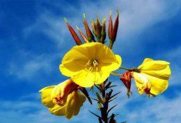 روغن و کپسول گل مغربی از فواید تا نحوه مصرف