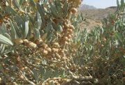 گیاه پنیر باد (withania samnifera) و خواص بی نظیر آن
