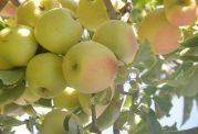 فواید سلامتی سیب گلاب