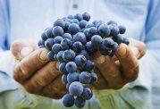 درمان یبوست، کمخونی و پیشگیری از سرطان با خوردن انگور