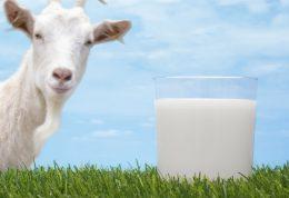 مزایای نوشیدن شیر بز