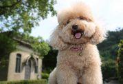 دانستنی هایی در مورد سگ با نژاد پودل