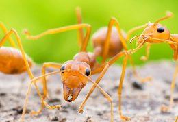 بررسی فواید و خواص درمانی سم مورچه آتشین