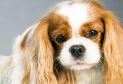 دانستنی هایی در مورد سگ با نژاد کاوالیر کینگ چارلز اسپانیل