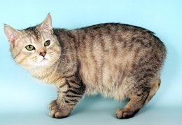 گربه بدون دم مانکس چه خصوصیاتی دارد؟