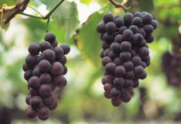ویژگی های درمانی انگور