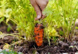 مصرف هویج پخته و این همه خواص طلایی