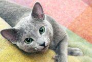 گربه آبی رنگ روسی چه ویژگی هایی دارد؟