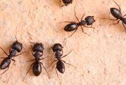 تامين آنتی بيوتيک توسط مورچه ها
