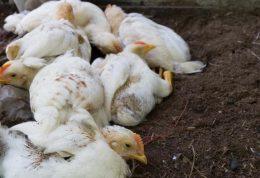 خطر سویه جدید آنفولانزای فوق حاد پرندگان