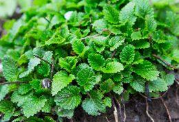 تازه ترین یافته ها در مورد گیاه بادرنجبویه
