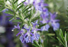 خواص دارویی و درمانی گیاه رزماری
