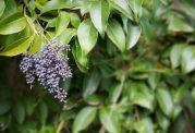 پیشگیری از پوکی استخوان در زنان یائسه با کمک میوه براق برگنو (privet)