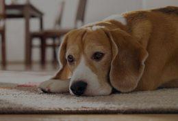 عفونت ادراری در سگ + علائم و راه های درمان