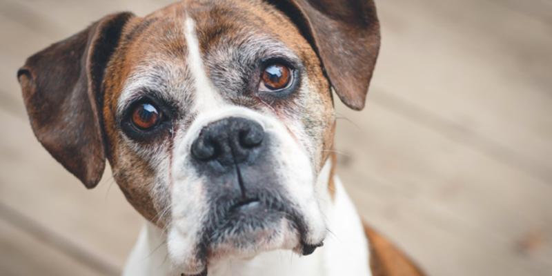 عفونت ادراری در سگ