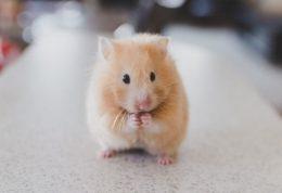 علائم و نشانه های بیماری در همستر