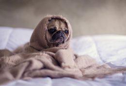 آنفولانزای سگی چیست و چه علائمی دارد؟