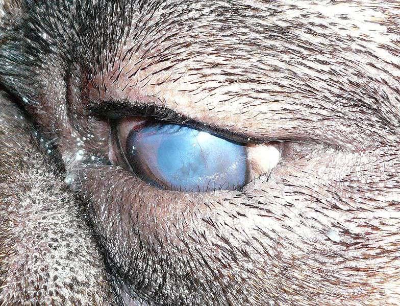 بیماری های چشمی در سگ