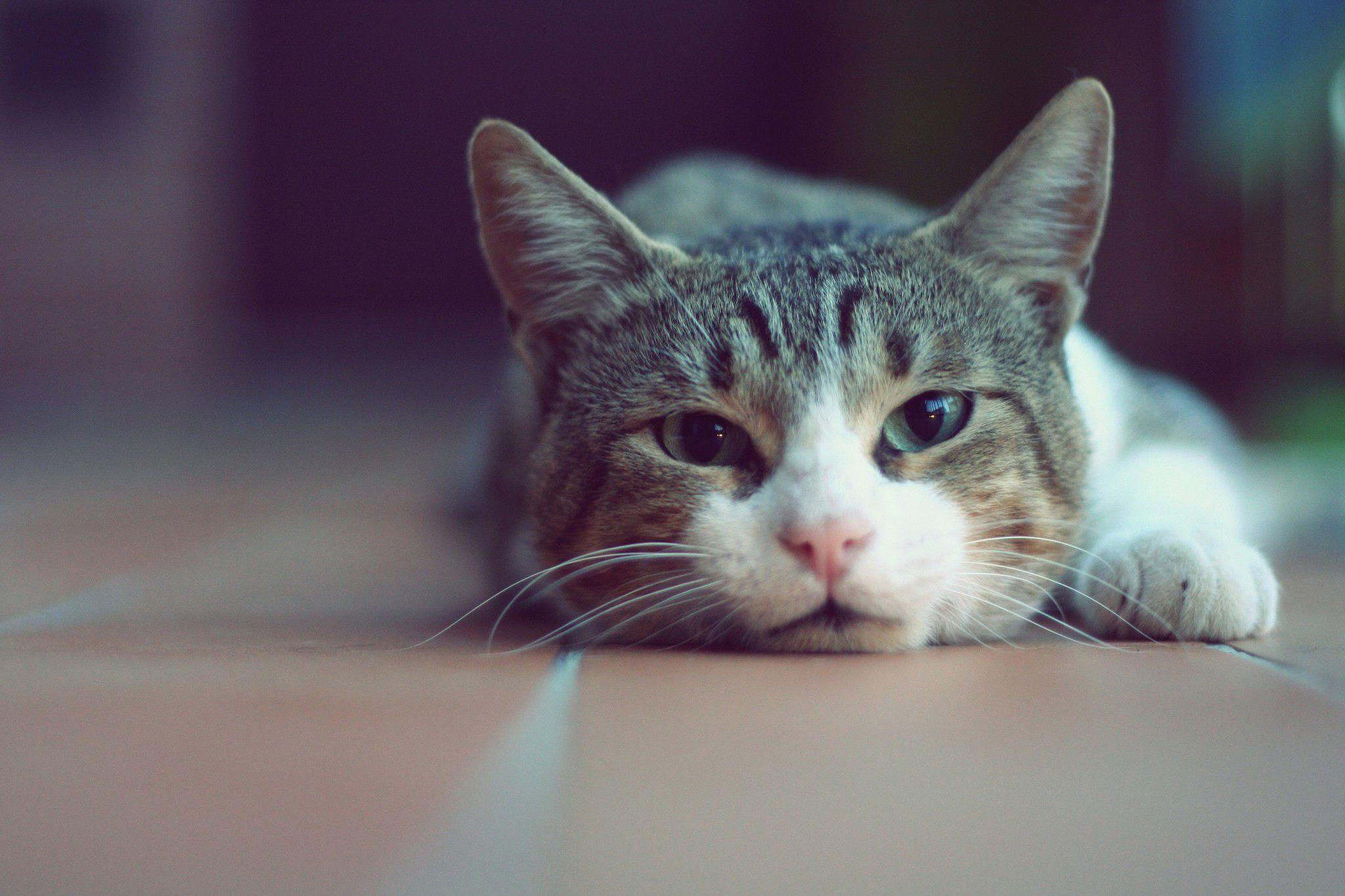 بیماری در گربه