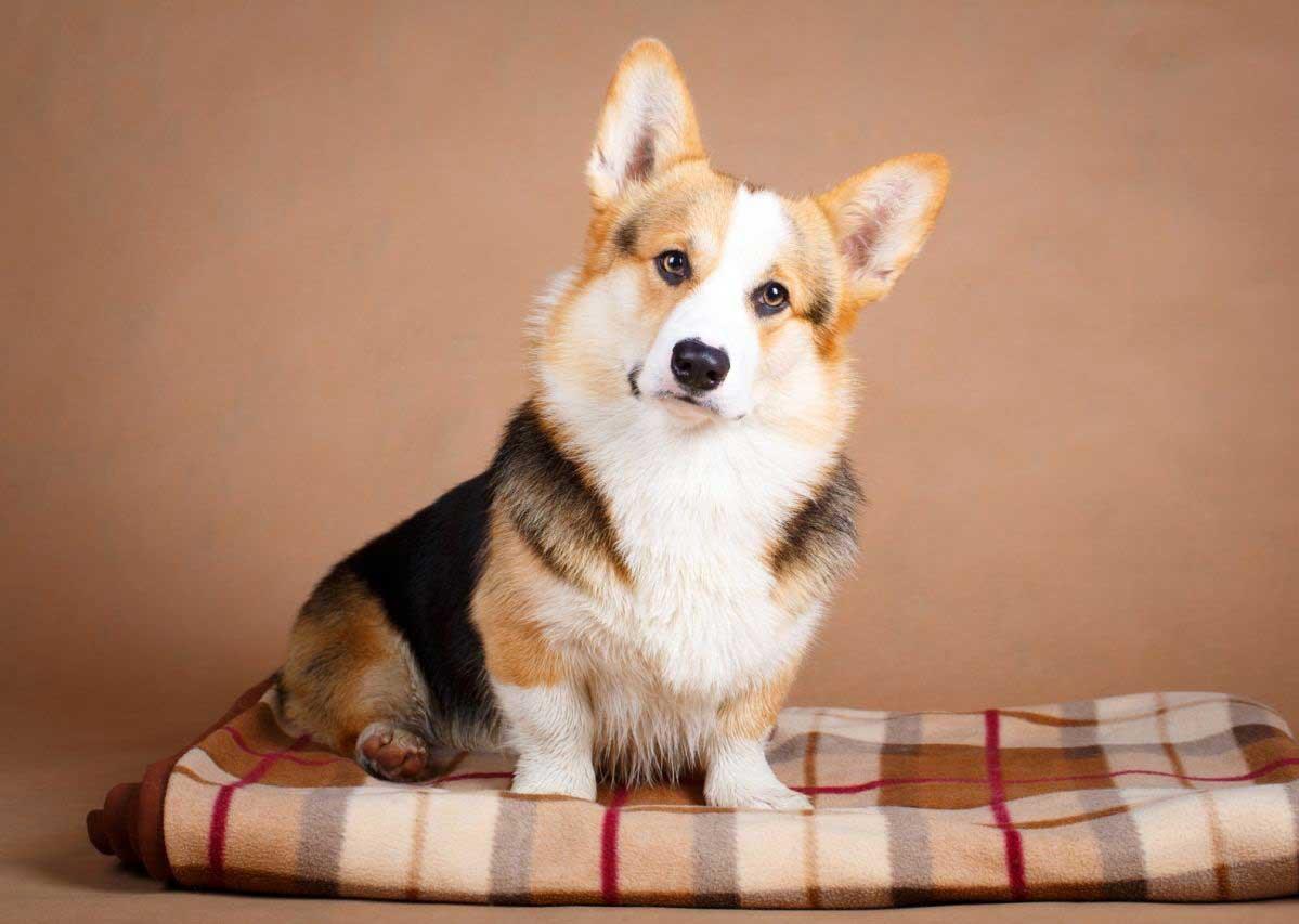 بیماری کلیه در سگ های خانگی