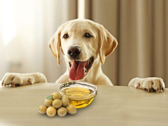 آیا سگ های خانگی می توانند روغن زیتون بخورند؟