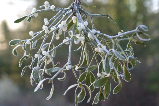 mistletoe1812a min e1545804455298 - گیاه دارواش (Mistletoe)؛ 6 فایده شگفت انگیز گیاه دارواش